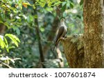 the mountain imperial pigeon ... | Shutterstock . vector #1007601874