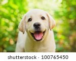 Stock photo labrador retriever puppy in the yard shallow dof 100765450