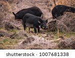 wild pigs sus scrofa forage for ... | Shutterstock . vector #1007681338