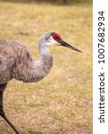 Small photo of Sandhill crane bird Grus canadensis forages for food in the marsh at the Myakka River State Park in Sarasota, Florida