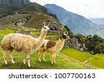 Peruvian Llama In The Incan...