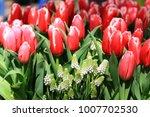beautiful tulips bloom in the... | Shutterstock . vector #1007702530