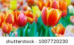 tulip flower background ... | Shutterstock . vector #1007720230