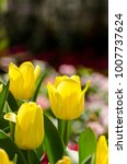 group of yellow tulips in the... | Shutterstock . vector #1007737624