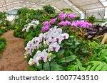 orchid flower in orchid garden  ... | Shutterstock . vector #1007743510
