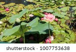 beautiful lotus and waterlily... | Shutterstock . vector #1007753638