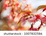 wild himalayan cherry  prunus... | Shutterstock . vector #1007832586