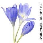 light blue crocus flowers... | Shutterstock . vector #1007844418