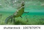 wild saltwater crocodile... | Shutterstock . vector #1007870974