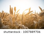 Cornfield During Summer
