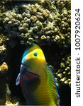 Small photo of Scaridae, red sea, egypt