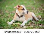 american staffordshire terrier...   Shutterstock . vector #100792450