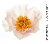 Stock photo delicate peony flower isolated on white background 1007954044