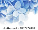 Small photo of Soft blue Hydrangea (Hydrangea macrophylla) or Hortensia flower with water dew on petals. fading into white background. Shallow depth of field for soft dreamy feel.