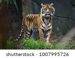 Stock photo sumatra tiger standing in grass looking at the camera 1007995726