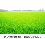 Small photo of Risc farm field background with blue sky. soft focus