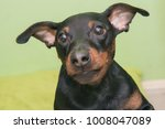 the miniature pinscher is a... | Shutterstock . vector #1008047089