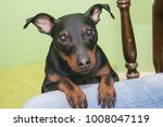 the miniature pinscher is a... | Shutterstock . vector #1008047119