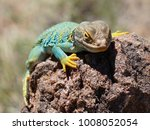 A Collared Lizard Relaxes On A...