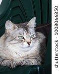 Stock photo lovely siberian kitten female silver color 1008066850