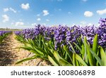 Row Of The Blooming Hyacinth...