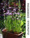 flowering chives in a crock | Shutterstock . vector #1008085546