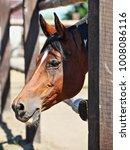 thoroughbred bay horse against... | Shutterstock . vector #1008086116