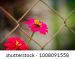 small grasshopper insect on red ... | Shutterstock . vector #1008091558