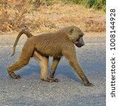 Monkey Walks Along A Road....
