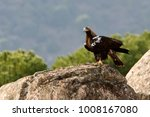 spanish imperial eagle. aquila... | Shutterstock . vector #1008167080