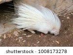 rare albino porcupine in the... | Shutterstock . vector #1008173278
