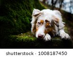 Small photo of Red merle australian shepherd puppy with amazing eyes lying on the stone bench in forest.