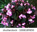 Begonia Blooms In Flower.