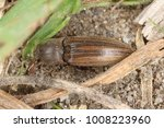 Small photo of Agriotes lineatus is a species of beetle from the family of Elateridae. It is commonly known as the lined click beetle