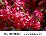 branch of cherry blossoms.... | Shutterstock . vector #1008231130
