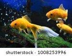 Three Goldfish Swimming In Tank.