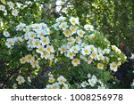 abundant flowering rose bush... | Shutterstock . vector #1008256978