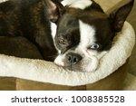 Boston Terrier  Toy Breed Dog ...
