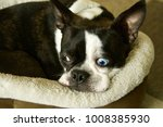 Boston Terrier  Toy Breed Dog ...