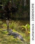 An American Alligator Resting...