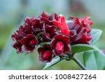 Small photo of Dark Red Lipstick Plant (Aeschynanthus Pulcher) in Bloom