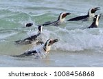 African Penguins Swim In The...