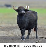 The Wild Water Buffalo With...
