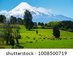 cows grazing on the green... | Shutterstock . vector #1008500719