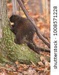 porcupine climbing tree | Shutterstock . vector #1008571228