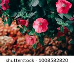 beautiful petunia flowers in... | Shutterstock . vector #1008582820