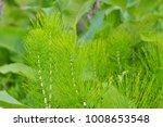Horsetail  Equisetum  Healing...