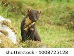 a curious pine marten  martes... | Shutterstock . vector #1008725128
