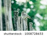 the bird wagtail sitting on a... | Shutterstock . vector #1008728653
