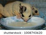 petaurus breviceps  sugar... | Shutterstock . vector #1008743620